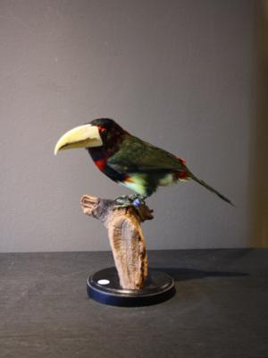 Taxidermy Toucanet Bird